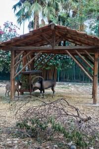 Kri kri goats in Chania public garden