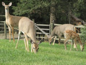 Deer are often seen at Aspengrove Country Resort