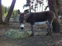 Rita enjoys our grass mix hay at Aspengrove Country Resort Vernon BC Canada