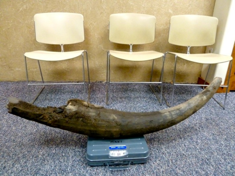 A tusk on a scale in the offices of the Snowmass Water and Sanitation District, where many of the first tusks and bones were taken after being found in October 2010.