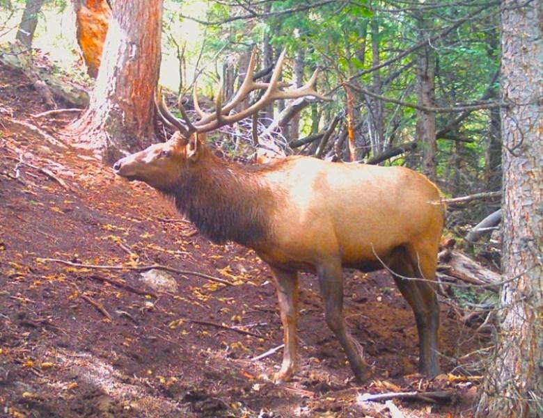elk on trail