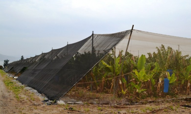 This banana tree plantation is covered with an enormous sheltering fabric to cool the heat of the sun, trap moisture, and deter natural pests.