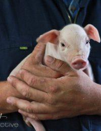 Piglet via aspicyperspective.com