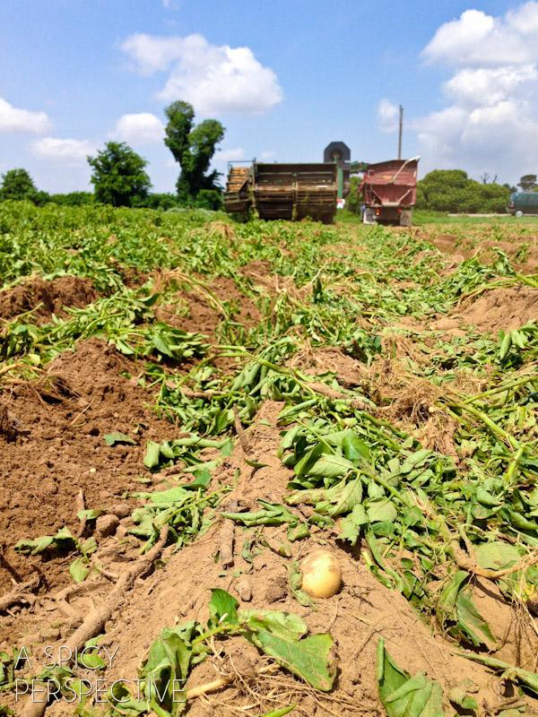 Black Gold Potato Farm