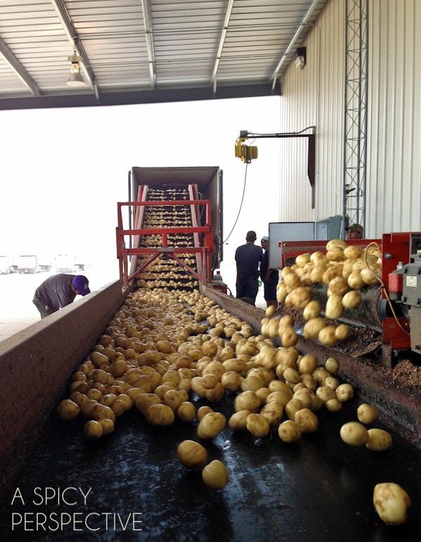Chip Potatoes
