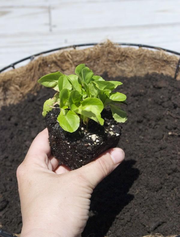 How To: Lettuce Leaf Hanging Baskets #garden #gardening #diy #upcycle