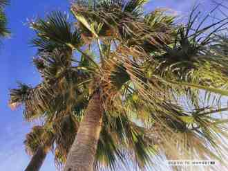 South Padre Island palm tree
