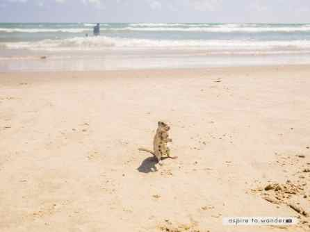 Prairie dog on the beach at South Padre Island, Texas