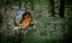 Kea flying in beech forest