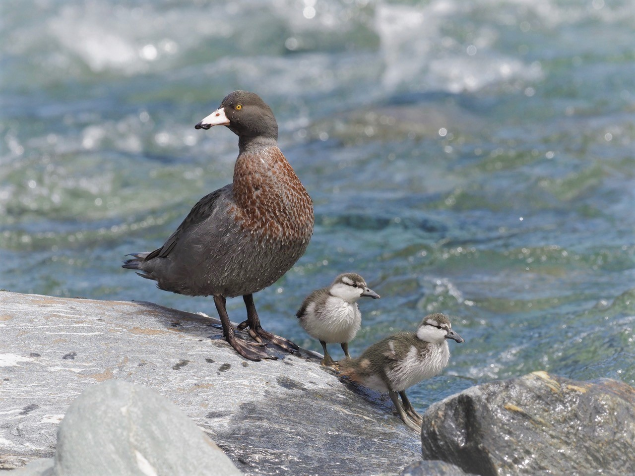 Whio (blue duck) breeding confirmed in the upper Siberia Valley