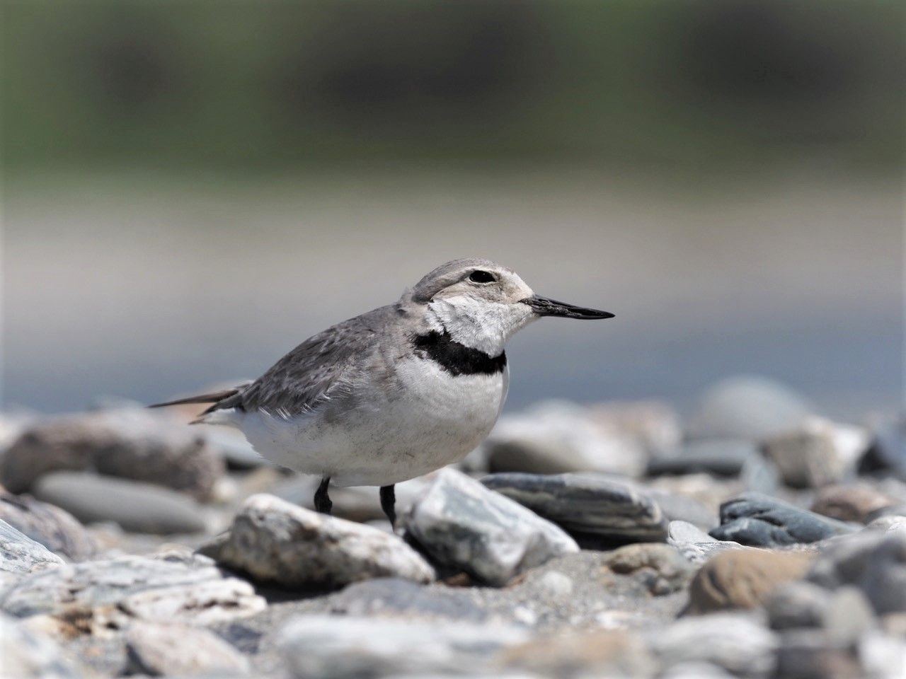 Wrybill (Ngutuparore) For Bird Of The Year