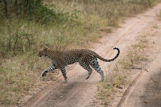 A leopard shortly after a failed hunt