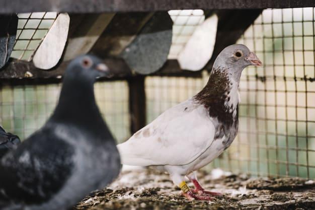 controle de pombos 1 Home
