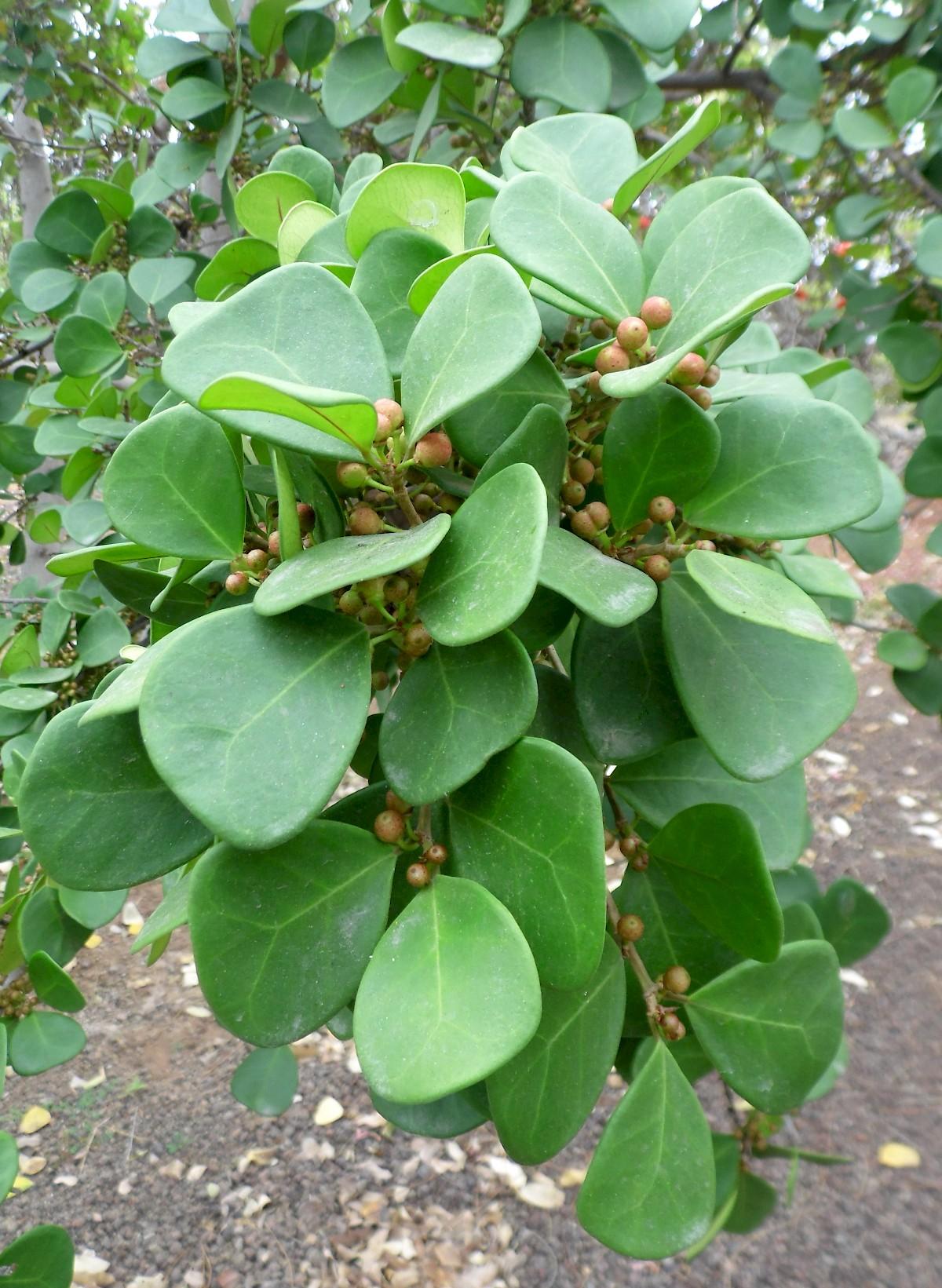 Ficus Deltoidea Uf Ifas Assessment University Of