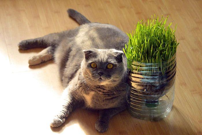 Пырей для кошек.
