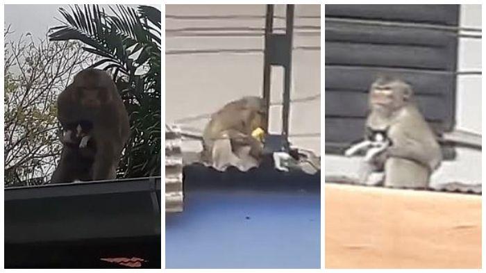 Gambar Monyet Bawa Pisang Unik Seekor Kera Dengan Santainya Makan Pisang Di Atap Warga Usai