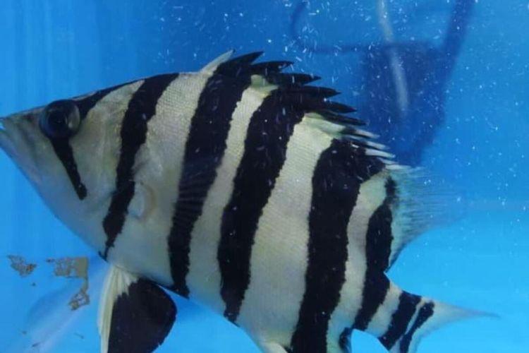 Harga Jual Mencapai Rp 25 Juta Tiger Fish Ramai Diburu Warga Halaman All Kompas Com