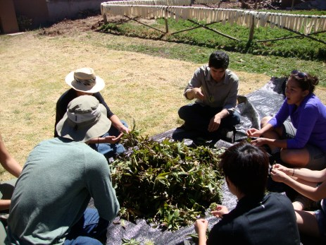 Students from Washington State removing the stems for all-natural dyeing.