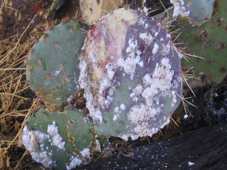 A prickly pear in the Phoenix Valley provides a home for cochineal insects covered in a white bloom of very fine hairs.