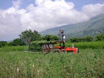 Indigo harvest in El Salvador.