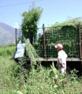 Harvesting indigo in El Salvador. Photo courtesy Mary Lance.