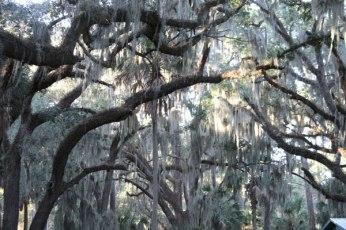 Lowcountry trees of Southern Carolina and Georgia.