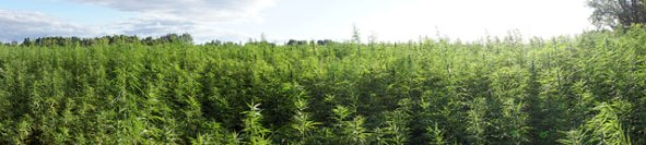 Field of vigorous hemp plants.