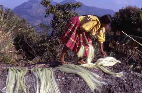 Drying maguey fiber in the sun.