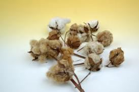 Organic colored cotton bolls. Photo credit Sally Fox.