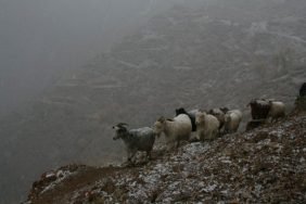 Cashgora goats high in the Pamirs.