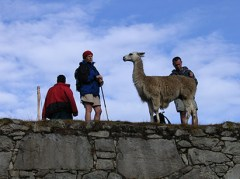 Camelids were highly valued in the Andes from ancient times to today.