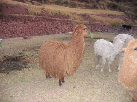 Suri alpaca.