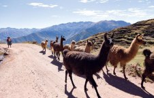 Llamas provide transport for all manner of agricultural product going to market.