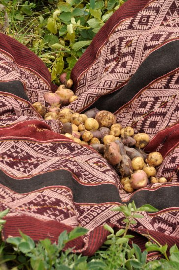 Chahuayteri is known for their Lake with Flowers pattern, naturally dyed with cochineal. This was taken during potato harvest time.