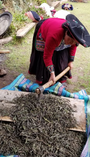 Prepping the k'uchu, the fungus on the leaves, for producing turquoise green color.