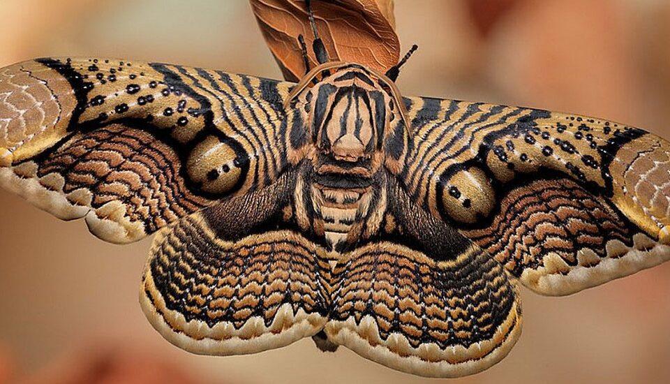 la symbolique du papillon de nuit