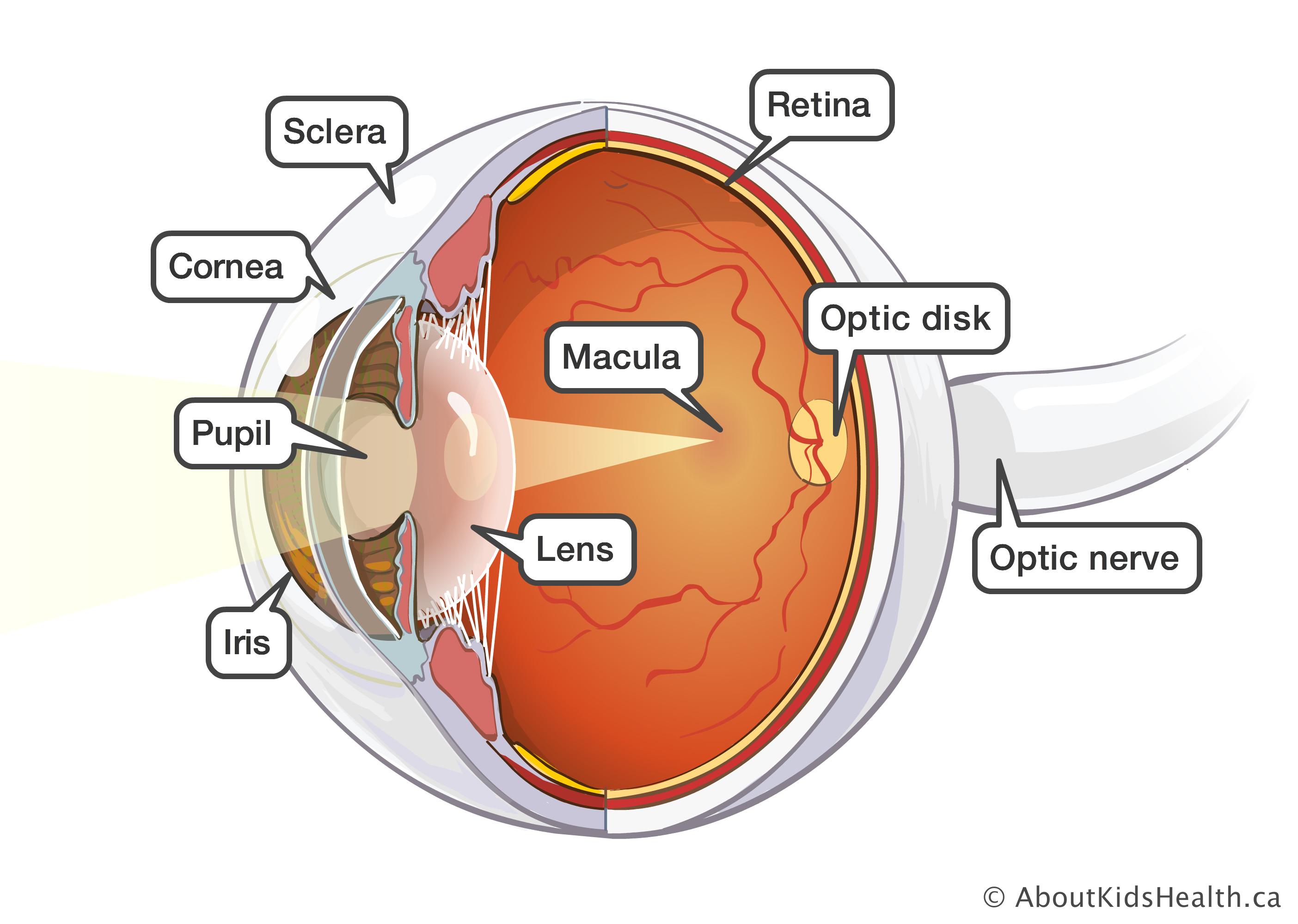 Human Eye Definition Structure Function Britannica