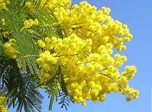 Mimosa Come Piantarla E Curarla