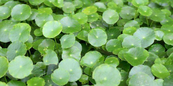 Green Me, https://www.greenme.com.br/usos-beneficios/4119-centella-asiatica-usos-para-saide