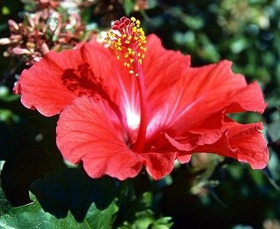 Flores, http://flores.culturamix.com/informacoes/vinagreira-hibiscus-sabdariffa