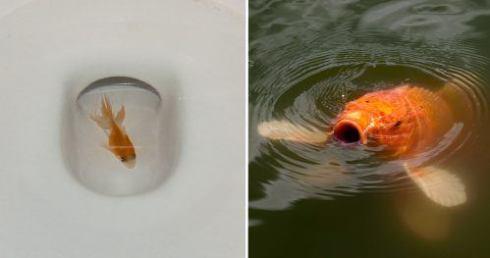 O que acontece quando jogamos o Peixinho Dourado na Privada?