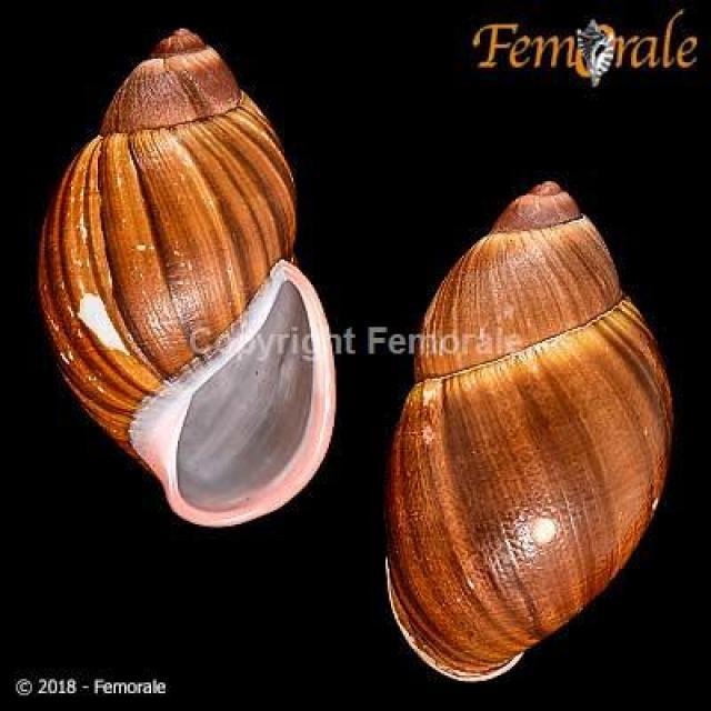 Femorale, http://www.femorale.com/shellphotos/detail.asp?species=Achatina+fulica+%28Bowdich%2C+1822%29&url=%2Fshellphotos%2Fthumbpage.asp%3Ffamily%3DACHATINIDAE%26cod%3D5034
