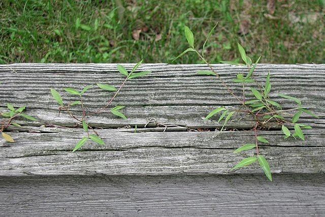 More Japanese stiltgrass.