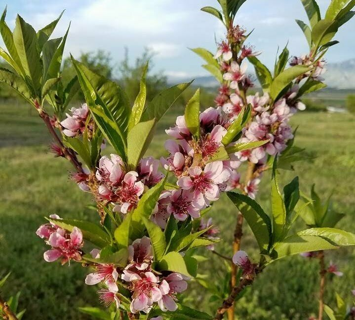 So far, Wytsalucy has located nearly 10 orchards on the Navajo Nation reservation.