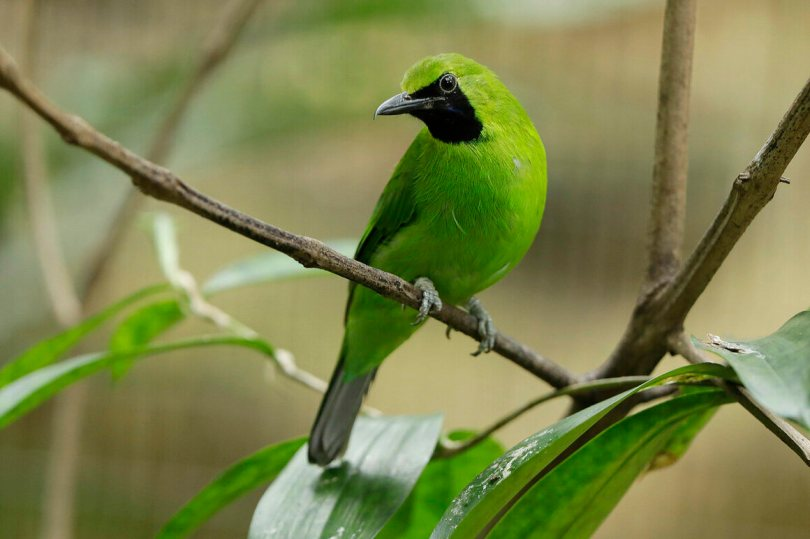 The vulnerable greater green leafbird (<em>Chloropsis sonnerati</em>) has recently become popular among songbird keepers, which has contributed to its decline in the wild.