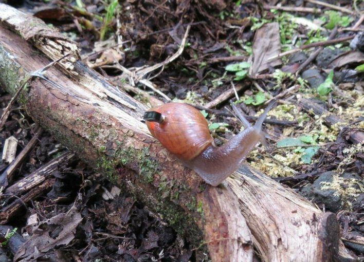A rosy wolf snail on the hunt, sporting a tiny computer that researchers glued to its shell.