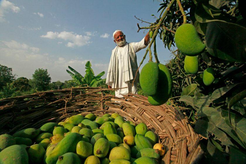 India's Mango Man