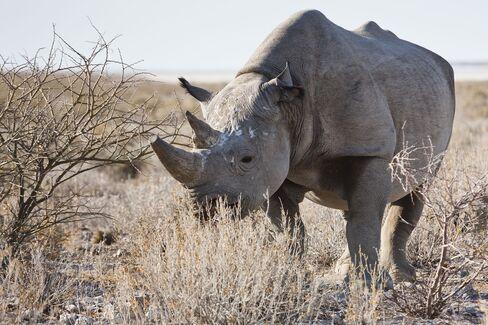 Namibian Rhino
