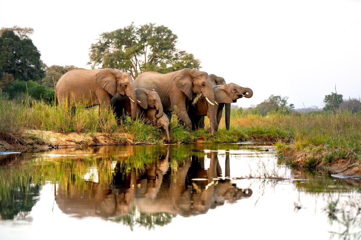Elephant Hunts For ,000 to Fund Zimbabwe National Parks