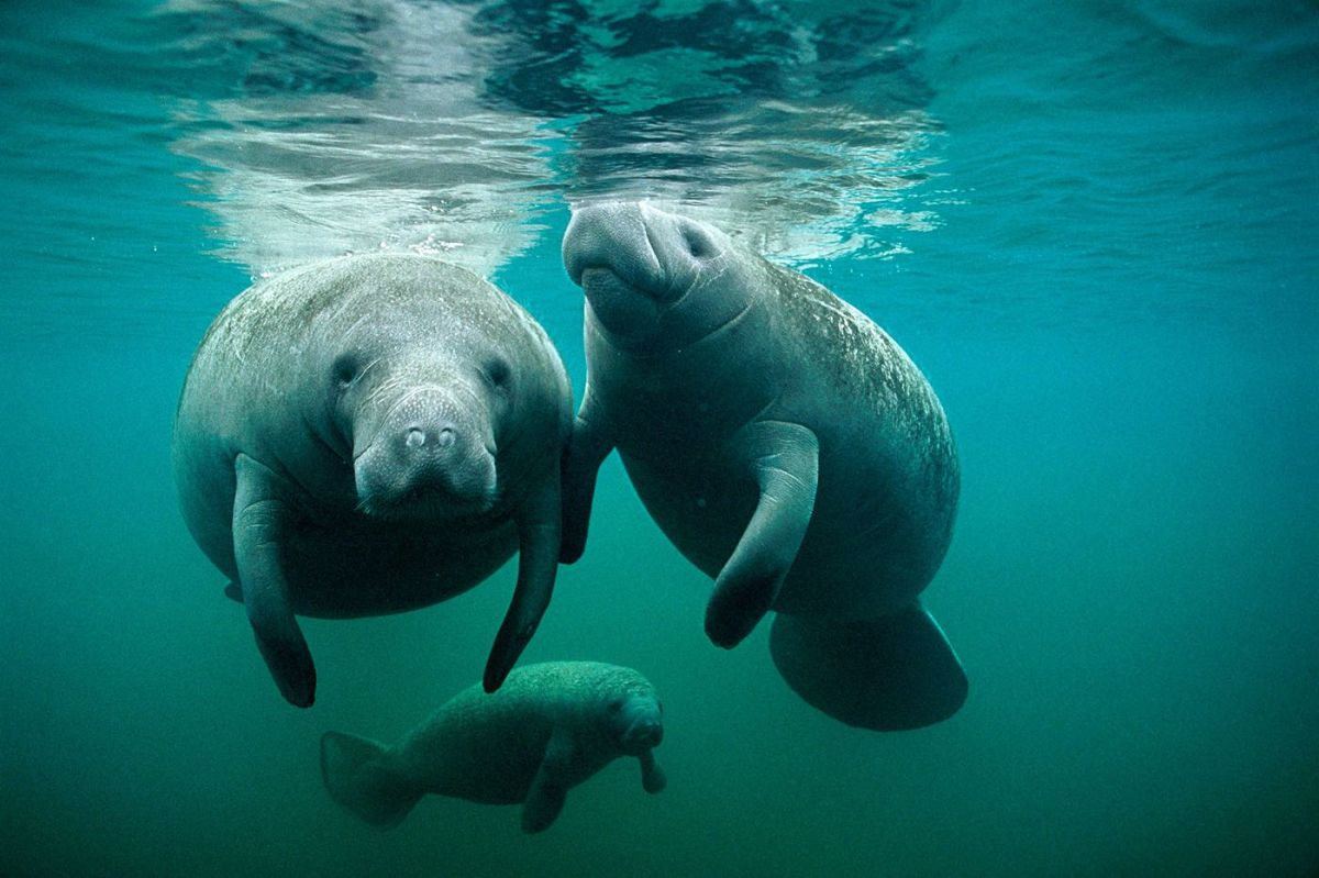 1520P_FEATURE_MANATEES_07-CMS